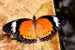 butterfly-321