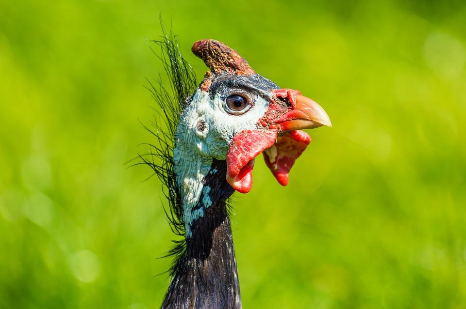guinea-fowl-2304994_960_720