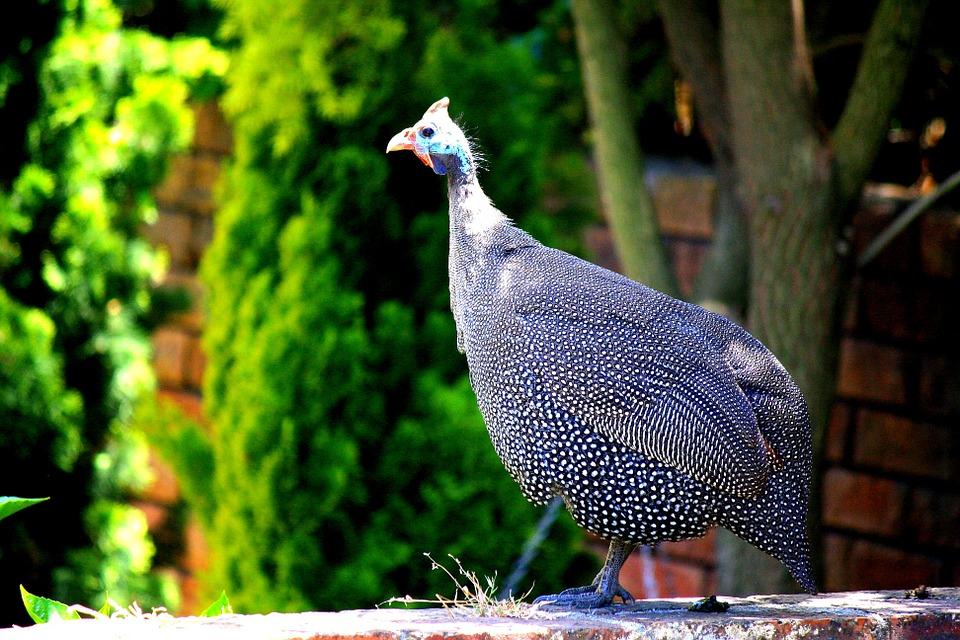 guinea-fowl-456713_960_720