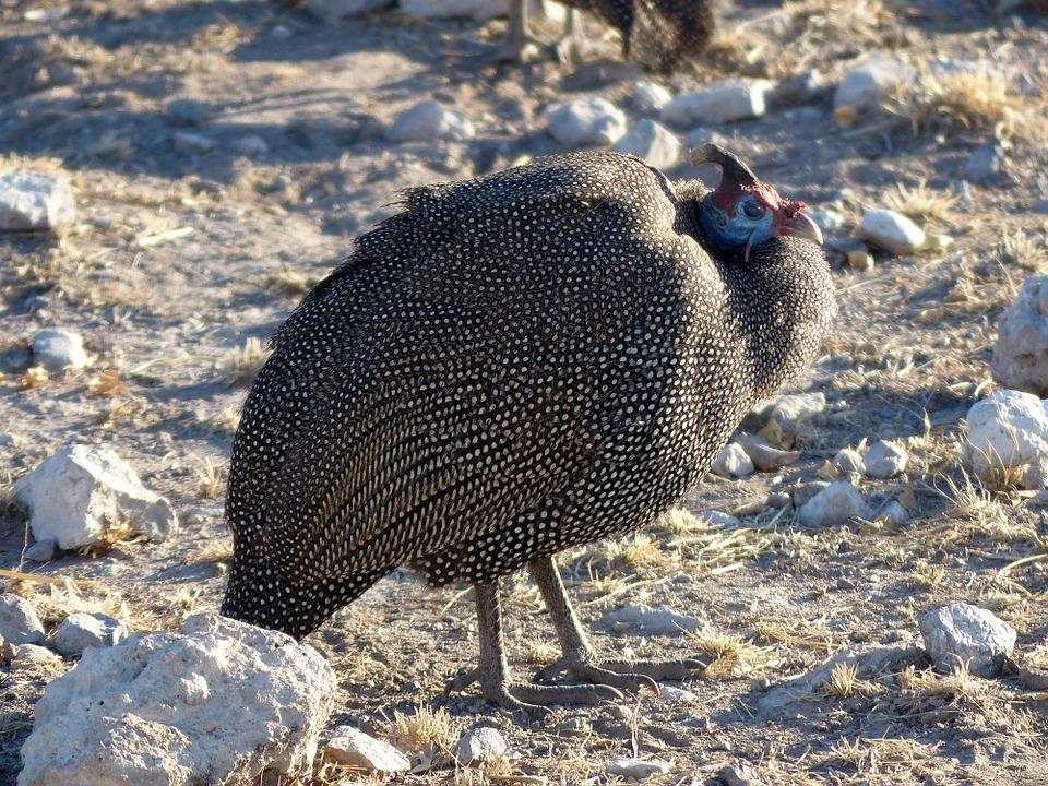 guinea-fowl-902337_960_720