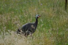 guinea-fowl-1466269_960_720