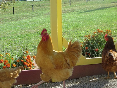 Choosing the right chicken breed Vivkie Farrow