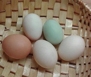 Cream Legbar Ruth Staveley Egg Basket