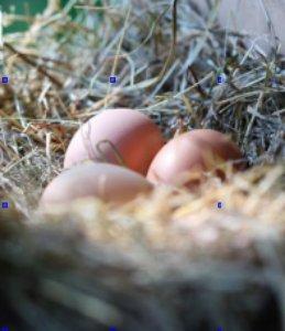 Double Yolk Egg Nest