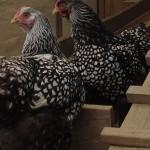 Wyandotte Chicken Breed