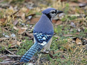 Jug Bird Feeder Blue Jay