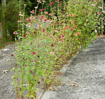 Wheels of Change Zinia, Flowers