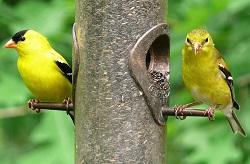 Goldfinch American