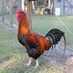 Welsummer Chicken Breed