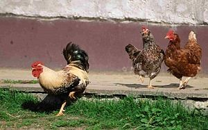 What do Chickens eat 4_opt