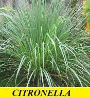 Plants that repel Mosquitoes Citronella