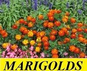 Plants that repel Mosquitoes Marigolds