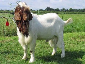 Boer goat copy