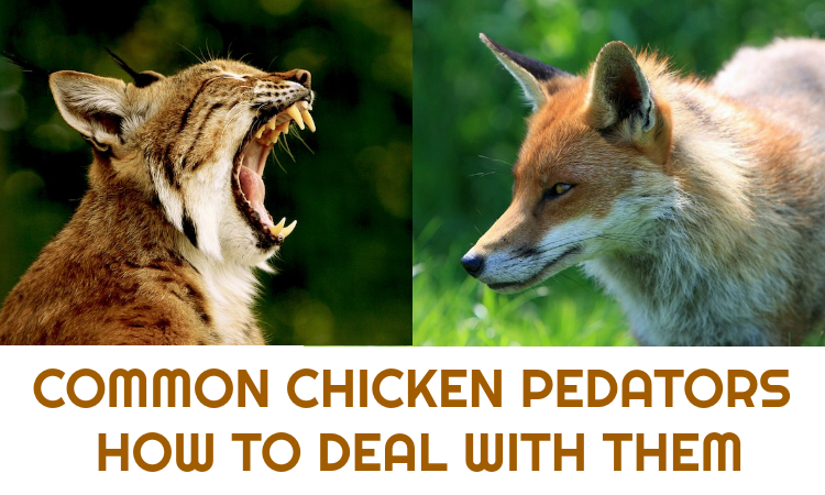 Chicken Predators