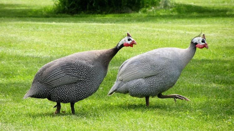 Raising Guinea Fowls