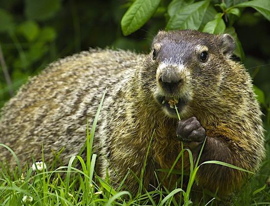 Groundhog Repellent