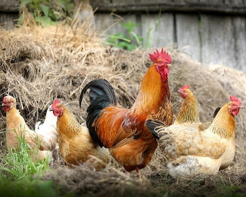 best egg laying chickens